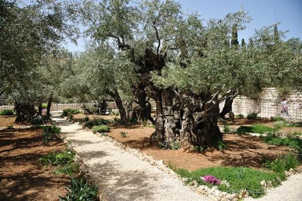 Старое дерево в Израиле возле храма гроба господнего