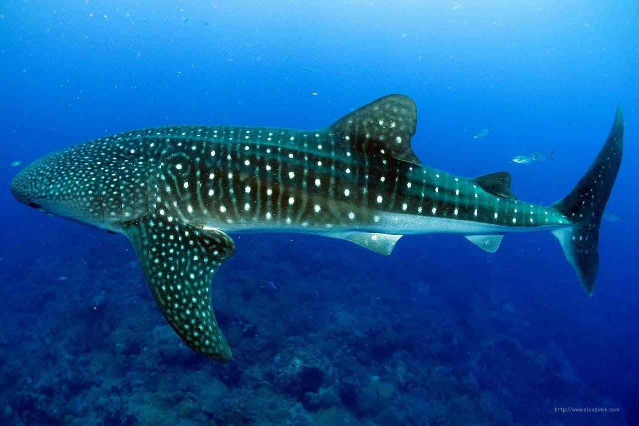 Китовая акула на Мальдивах в районе острова Дигура