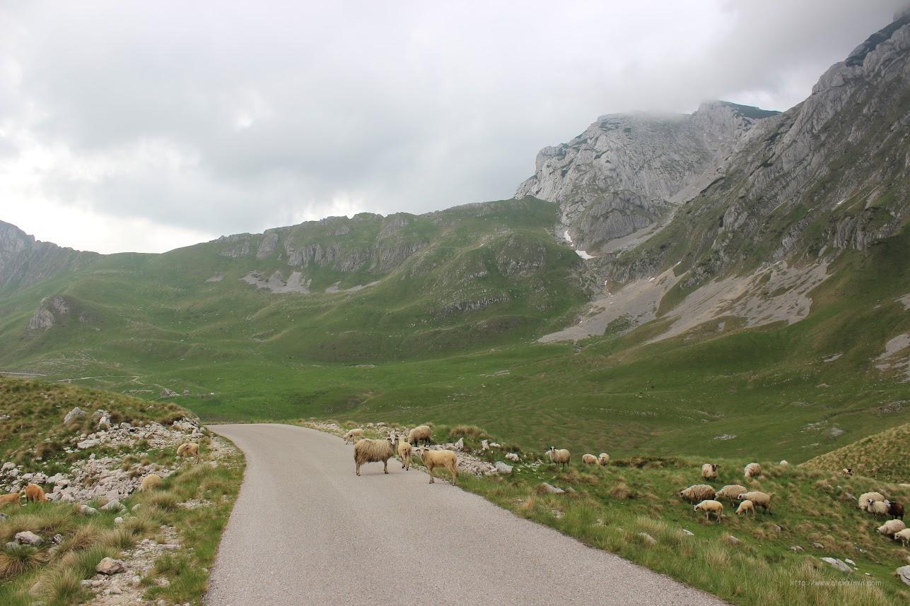 Овцы на дороге в Черногории (Дурмитор)
