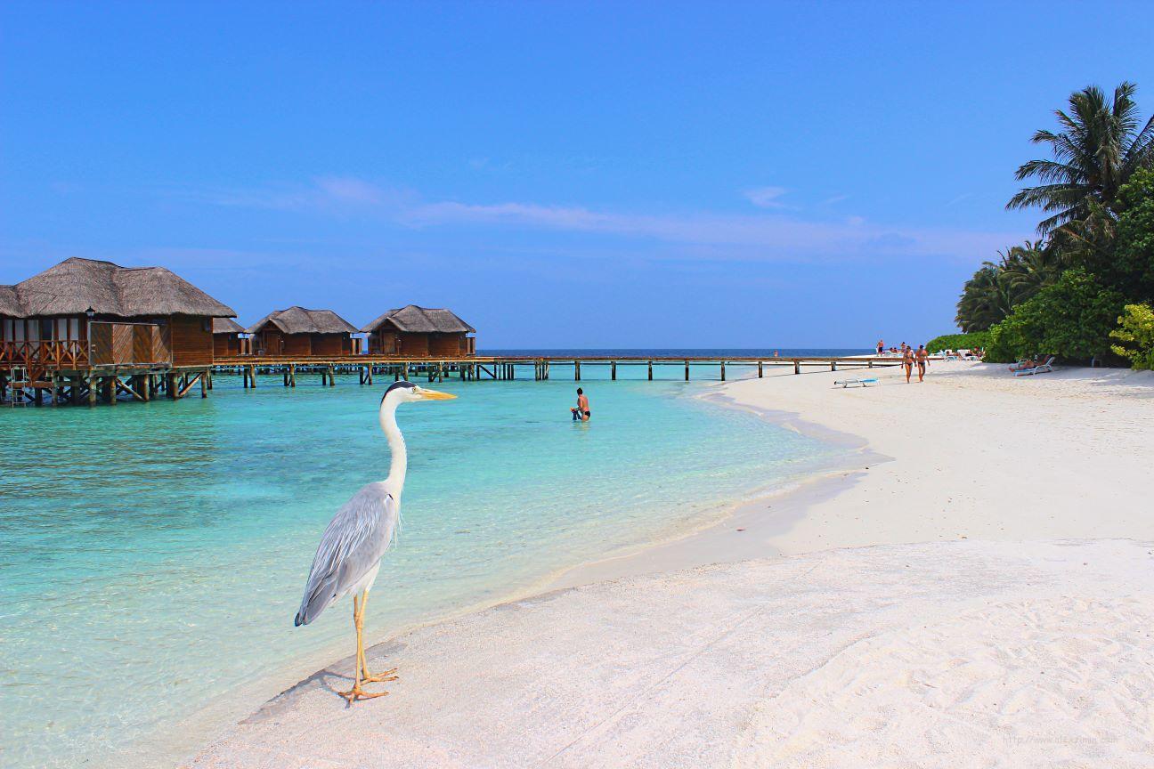 Мальдивы дешево. Остров Fihalhohi Island Resort и цапля на фоне домиков